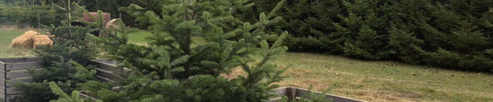 Juletræer og julestue hos Holmevang Frugtplantage